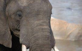Elephant in Majete Park, Malawi