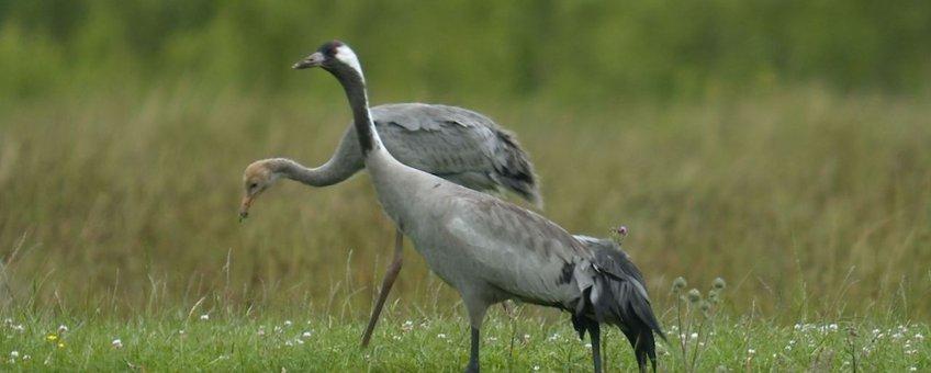 Kraanvogel met jong van negen weken