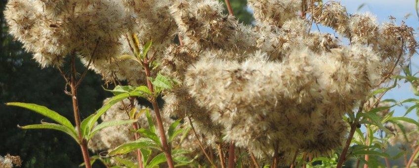 Koninginnekruid. Eupatorium cannabinum