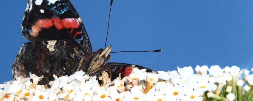 atalanta vlinderstruik - Primair