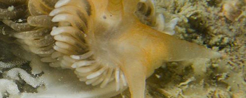De Verborgen vlokslak, een nieuwe en daarmee de 58ste soort Zeenaaktslak in de Nederlandse kustwateren