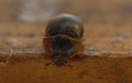 Kleine bijenkastkever
