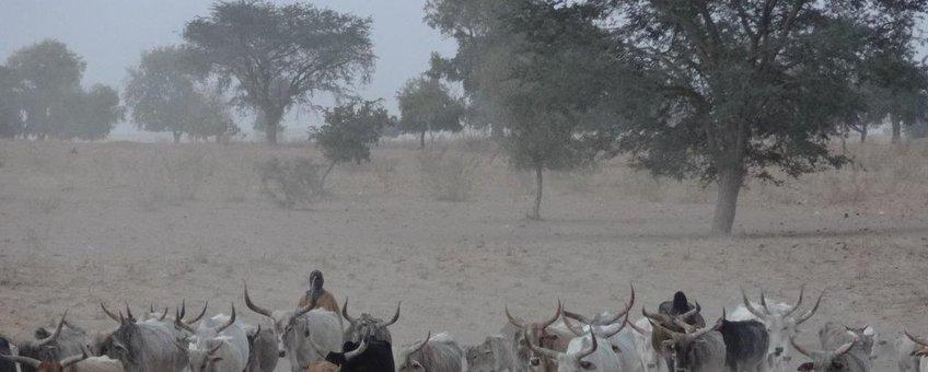 Herders in het droge Senegal op zoek naar gras voor hun vee.