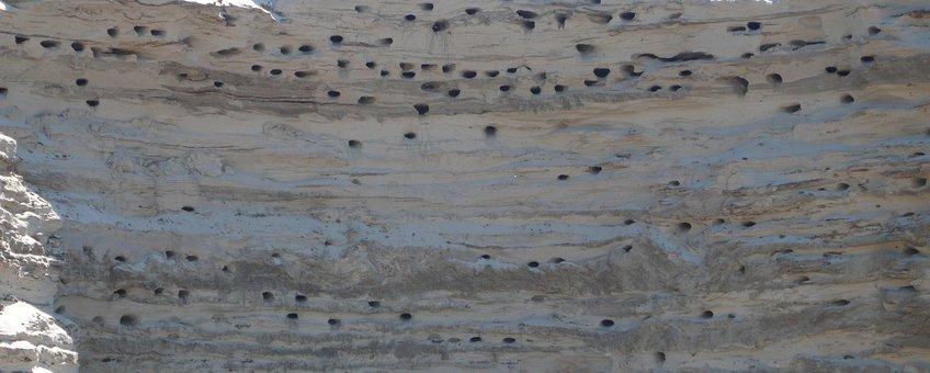 Oeverzwaluw nestgaten Saxifraga