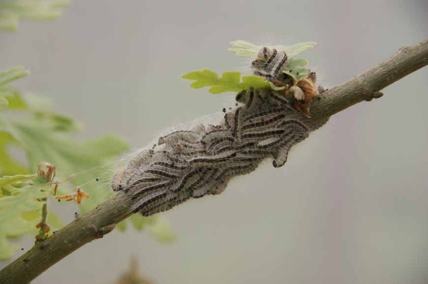 Eikenprocessierupsen in het vierde larvale stadium op de wintereik