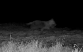Wolf bij Alde Faenen