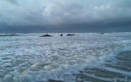 De gestrande potvissen op Texel bij paal 12