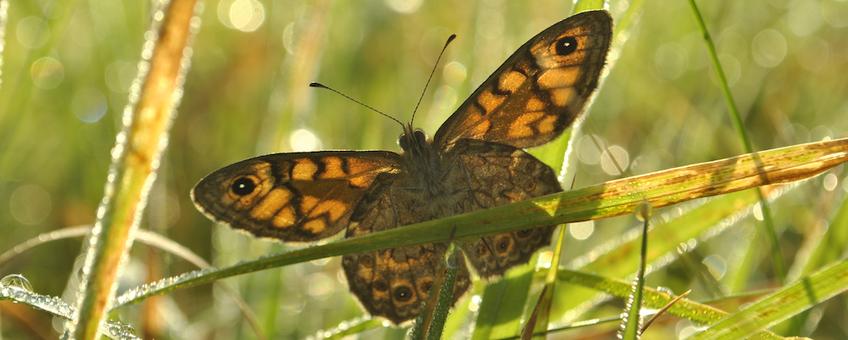 Argusvlinder, de 'koningin van de weide' vaart wel bij een kruidenrijke grasmat.