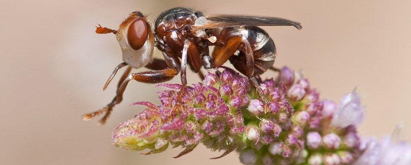 Het heideblaaskaakje, de enige soort die in de zomer vliegt op heideterreinen en om die reden vermoedelijk parasiteert op de heidezandbij.