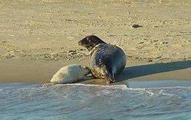 Rust is van levensbelang voor jonge zeehonden