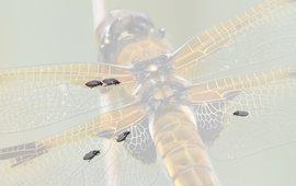 libellenbijtvliegen - primair