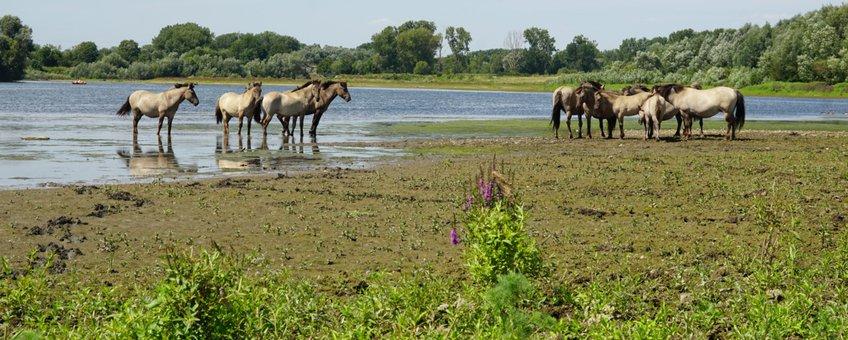 Konikpaarden langs de Grensmaas VOOR EENMALIG GEBRUIK