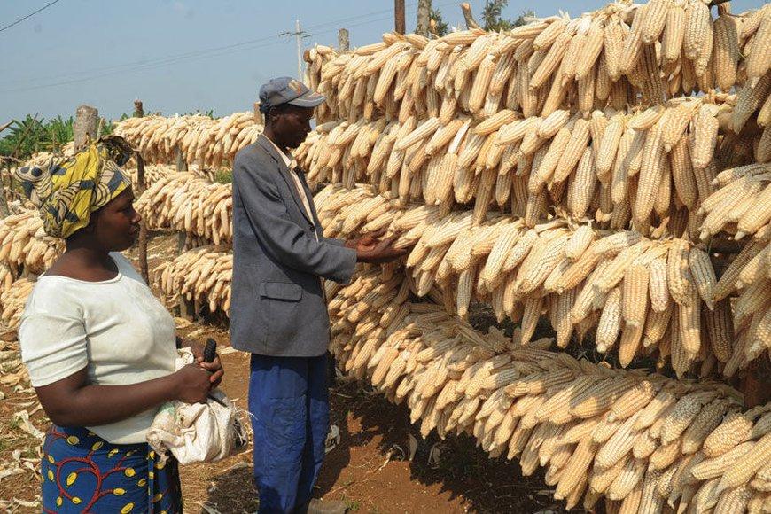 Maize production in Rwanda