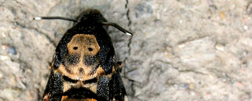 doodshoofdvlinder - primair