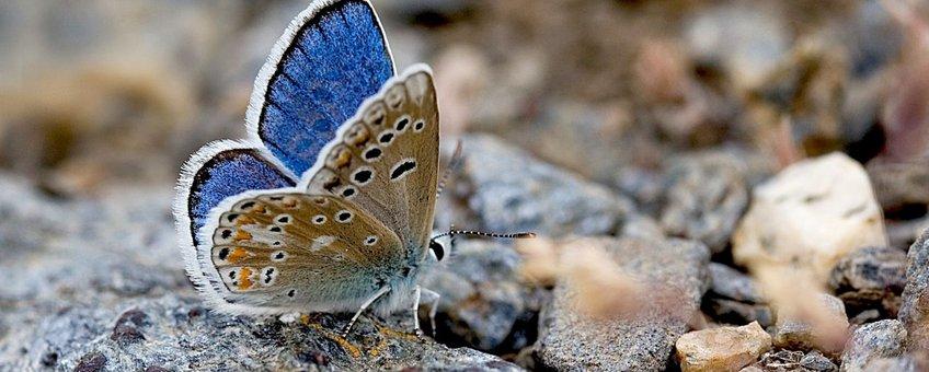 Nevadaturlooisblauwtje