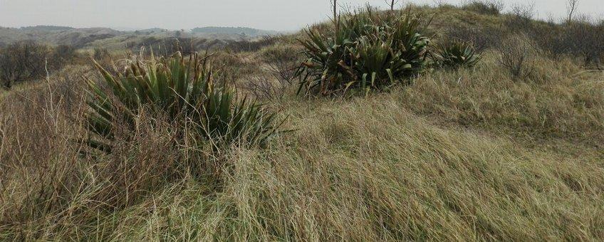 Groeiplaats van Yucca in Kraansvlak