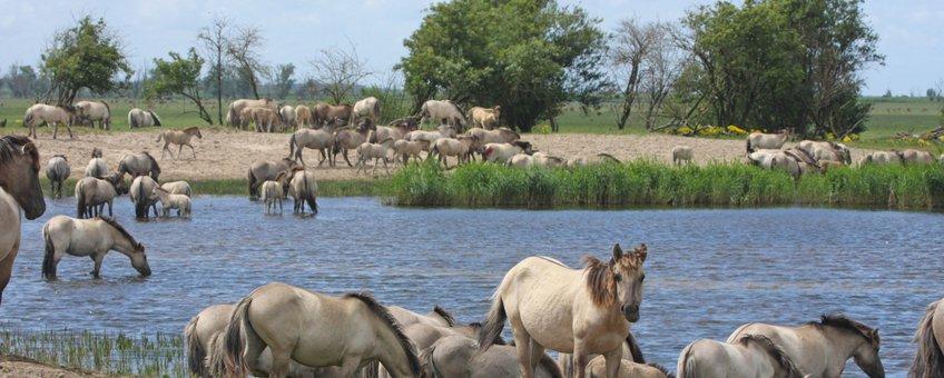 Grote kudde koniks in de Oostvaardersplassen VOOR EENMALIG GEBRUIK