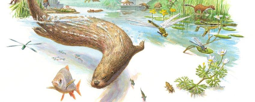 De otter is hét boegbeeld voor waterkwaliteit EENMALIG GEBRUIK