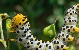 Rups helmkruidvlinder - primair