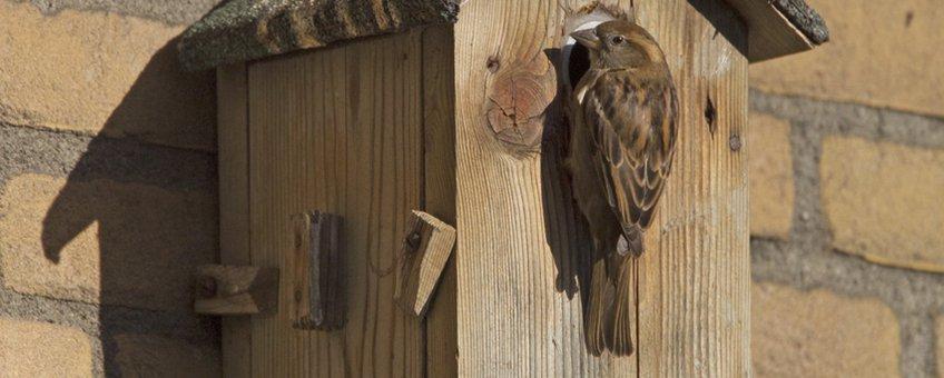 Huismussenpaar bij nestkast