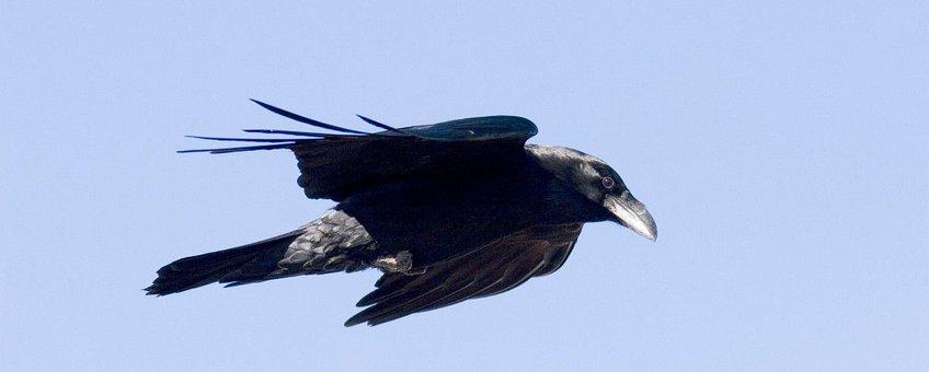 Corvus corax. Raaf