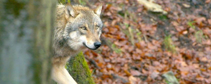 wolf in Nederland