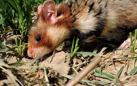 Europes hamster