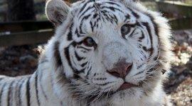 Saber, van Carolina Tiger Rescue. Saber lijdt aan scheelzien (onjuist uitgelijnde ogen). Scheelzien is niet het resultaat van inteelt, maar is een eigenschap die genetisch is gekoppeld aan het recessieve