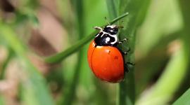 Lady beetle (Cycloneda sanguinea)