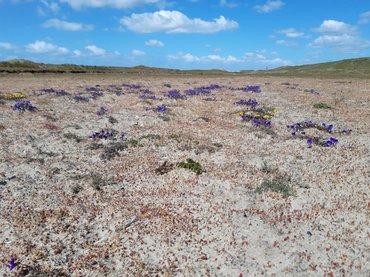Kale Noordduinen, waar zand en wind vrij spel hebben en tapuiten achter insecten aan kunnen rennen