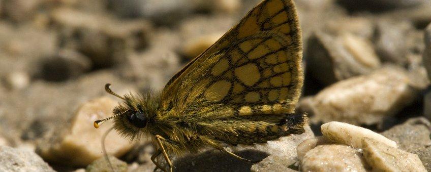 Bont dikkopje Carterocephalus palaemon 4, male,