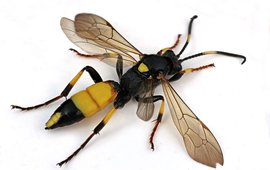 Ichneumon stramentor, de sluipwespsoort die tot nu toe het meest overwinterend wordt aangetroffen in dood hout. Dit is een vrouwtje.