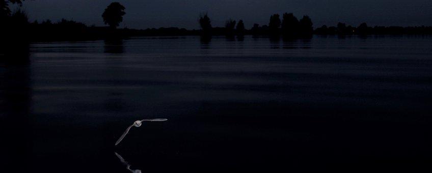 Meervleermuis foeragerend boven water