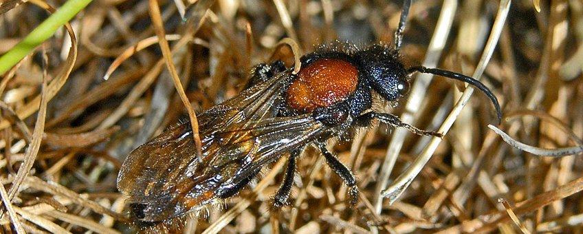 Grote mierwesp (foto: Hectonichus, GNU-FD-licentie)