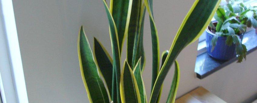 Sansevieria trifasciata. Foto: Martin Olsson, gfd-licentie