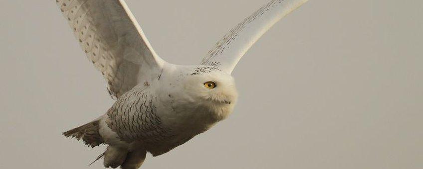 Sneeuwuil vlucht