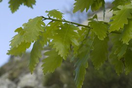Quercus petraea 5, Wintereik, sessile oak