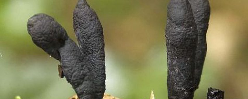 Xylaria longipes Esdoornhoutknotszwam N.J.Dam