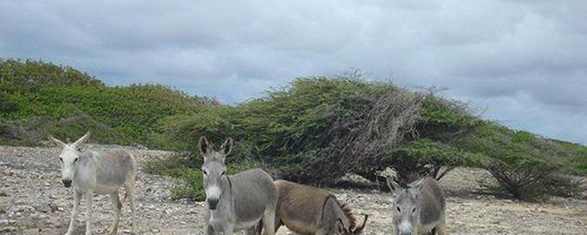 Ezels in het wild op Bonaire, Serge Melki, Flickr, Creative Commons