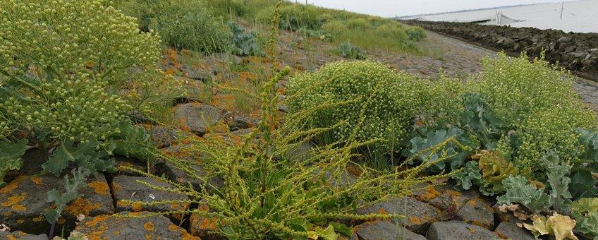 Klifflora met Strandbiet, Zeekool en Zeekweek