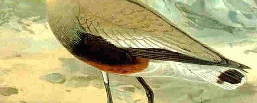Steppekievit, Naturgeschichte der Vögel Mitteleuropasm, Publiek Domein