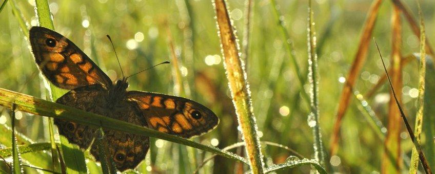 argusvlinder dauw - primair
