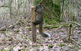 cameraval legt Pallas eekhoorn vast