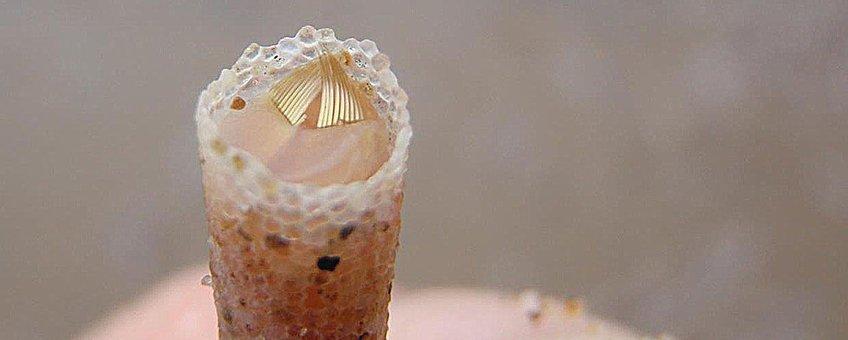 Goudkammetje met de kenmerkende gouden borstels