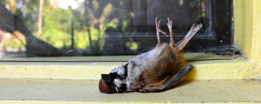 Ringmus doodgevlogen tegen een raam