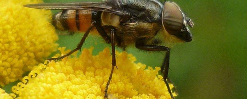 Mannetje Stomorhina lunata op boerenwormkruid. Foto Susan Rustidge.