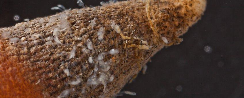 Loxosomella phascolosomata op het achtereind van de pindaworm Golfingia vulgaris