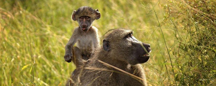 Baboon, baviaan