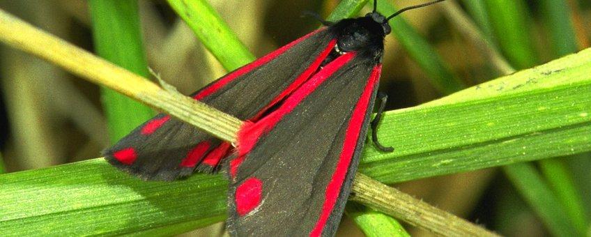 Tyria jacobaeae 19, Sint-jacobsvlinder
