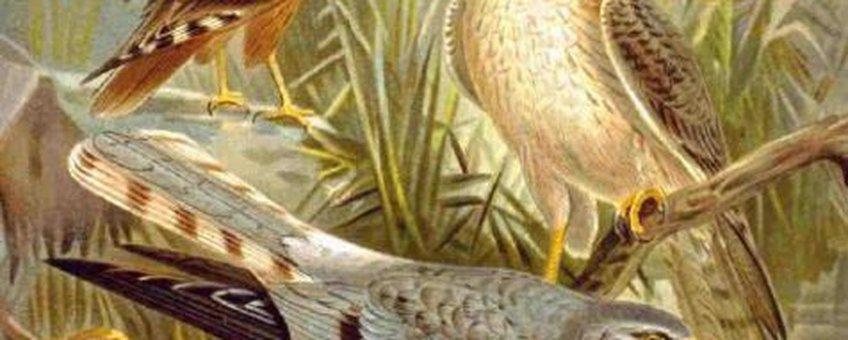 Grauwe kiekendief, tekening uit het boek 'Naumann, Naturgeschichte der Vögel Mitteleuropas'. Oud boek waarvan de copyrights allang zijn verlopen